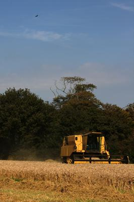 A buzzard was keeping an eye out for small rodents disturbed by the combine.